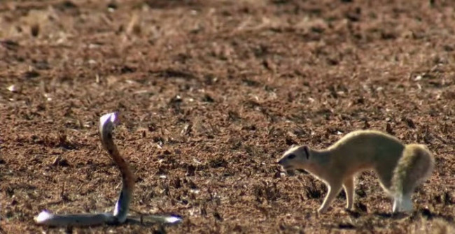mongoose-vs-cobra